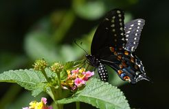 Swallow Tail Butterfly. Black Swallow tail butterfly on flowers Stock Image