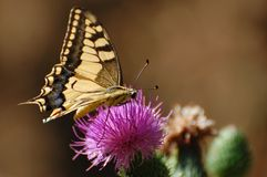 Swallow tail butterfly Stock Photos