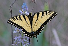 Swallow Tail Butterfly. On purple flowers Stock Image