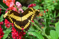 Free Swallow Tail Butterfly Stock Images - 85216104