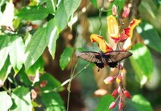 A swallow-tail butterfly feeding from a bright yellow and red flower surrounded by lush green vegetaion. Beautiful Tropical Butterfly with wings extended resing stock photos