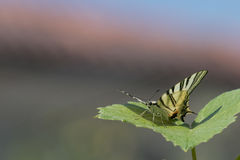 Swallow tail butterfly machaon close up portrait Royalty Free Stock Photos
