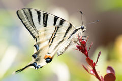Swallow tail butterfly machaon close up portrait Stock Images