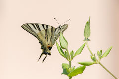 Swallow tail butterfly machaon close up portrait Royalty Free Stock Images