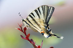 Swallow tail butterfly machaon close up portrait Stock Image