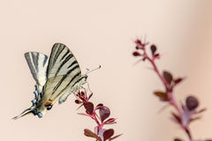 Swallow tail butterfly machaon close up portrait Royalty Free Stock Photography