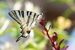 Swallow tail butterfly machaon close up portrait Royalty Free Stock Photo