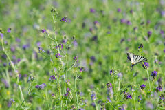 Swallow tail butterfly machaon close up portrait Stock Photos