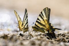 Swallow tail butterfly Royalty Free Stock Images
