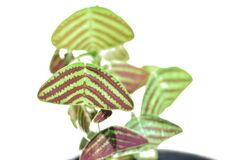 Swallow Tail, Butterfly Plant(Christia obcordata)  Plant  to Perfect for containers and hanging baskets