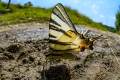 Swallow tail butterfly Stock Images
