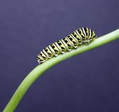 Swallow tail caterpillar Stock Photos