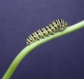 Swallow tail caterpillar Stock Photos