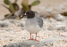 Swallow Tail Gull, Galapagos Islands Stock Photos