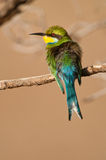 Swallow-tailed bee-eater. Colorful insectivore catching prey in flight. Fork-tailed. Bright blue collar and bluish underparts and tail  Common. Forehead Royalty Free Stock Images