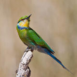 Swallow-tailed bee-eater Stock Photography