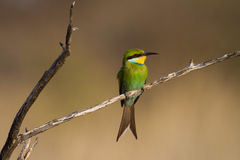 Free Swallow-tailed Bee-eater Royalty Free Stock Image - 27691216