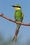 Swallow-tailed bee-eater Royalty Free Stock Photography