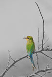 Swallow-tailed Bee Eater - African Wild Bird Background - Selective Coloring Royalty Free Stock Photography