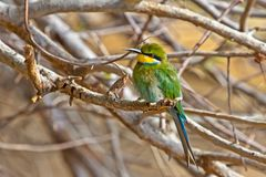 Swallow Tailed Bee Eater with Bright Colours stock photography