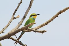 Swallow-tailed Bee-eater - Colorful Wild Bird Background from Africa royalty free stock photos