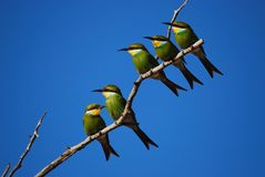 Swallow-Tailed Bee-Eater (Merops hirundineus) Stock Photography