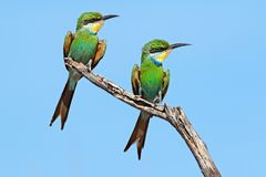 Swallow-tailed bee-eaters on a branch royalty free stock photo