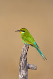 Swallow tailed bee-eater Royalty Free Stock Image
