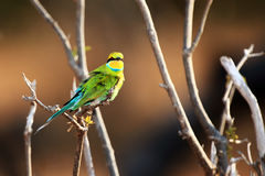 Swallow-tailed bee-eater stock photos