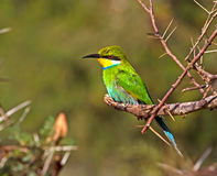 Swallow Tailed Bee-eater Sitting on Tree Stock Photo