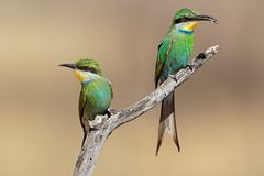 Swallow-tailed bee-eaters on a branch Stock Photography
