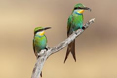 Swallow-tailed bee-eaters royalty free stock photos