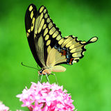 Swallow tailed butterfly Stock Photos