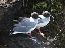Swallow tailed Galapagos Gull couple on the rock. The Swallow Tailed Gull is an equatorial seabird in the gull family Laridae. The species is endemic to the Royalty Free Stock Photo