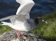 Swallow-tailed Gull. The Swallow-tailed Gull (Creagrus furcatus) is an equatorial seabird in the gull family Laridae. It is the only species in the genus Stock Photos