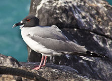 Swallow Tailed Gull Stock Photography