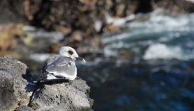 Swallow-tailed Gull. This Galapagos swallow-tailed gull perches itself on the cliffs Royalty Free Stock Photos