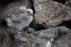 Swallow-tailed gull chick. A Swallow-tailed gull chick in the Galapagos Stock Images