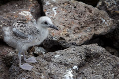 Swallow-tailed gull chick. A Swallow-tailed gull chick on rocks Stock Photos