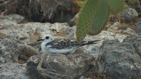 Swallow-tailed Gull Chick in South Plaza Island Royalty Free Stock Photography