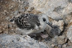 Swallow-tailed Gull Chick in South Plaza Island Stock Photo