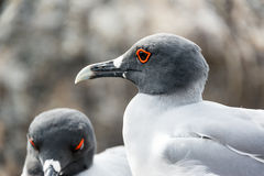 Swallow Tailed Gull Closeup Royalty Free Stock Photos