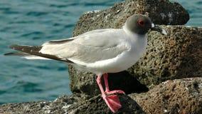 Swallow-tailed Gull. (Creagrus furcatus) at Genovesa Island, Galapagos, Ecuador royalty free stock photography