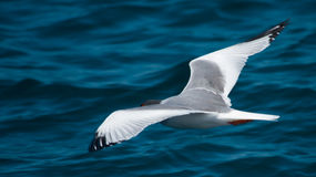 Swallow-tailed gull Stock Images