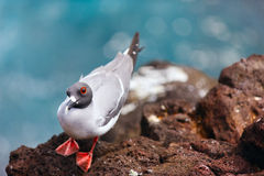 Swallow-tailed gull Stock Photo