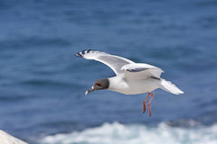 Swallow Tailed Gull in Flight Royalty Free Stock Photography