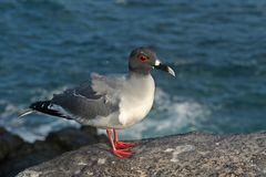 Swallow-tailed gull, Galapagos Islands Stock Photography