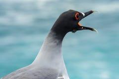 Swallow-tailed Gull, Galapagos Islands, Ecuador Royalty Free Stock Photo