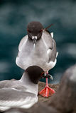 Swallow tailed gull in the Galpagos Islands Stock Photos