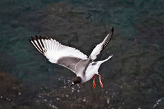 Swallow tailed gull in the Galpagos Islands Royalty Free Stock Images